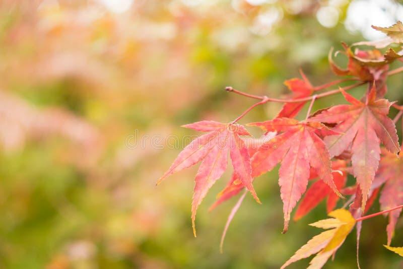 Hojas de arce rojas con el fondo de la falta de definición en la estación del otoño imagenes de archivo