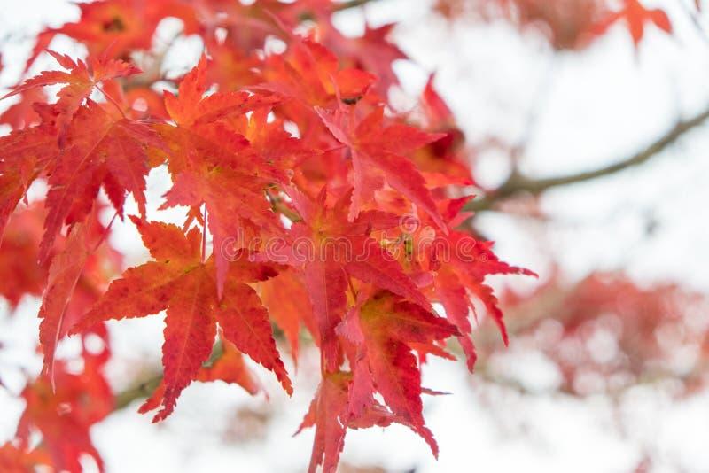 Hojas de arce rojas con el fondo de la falta de definición en la estación del otoño imagen de archivo