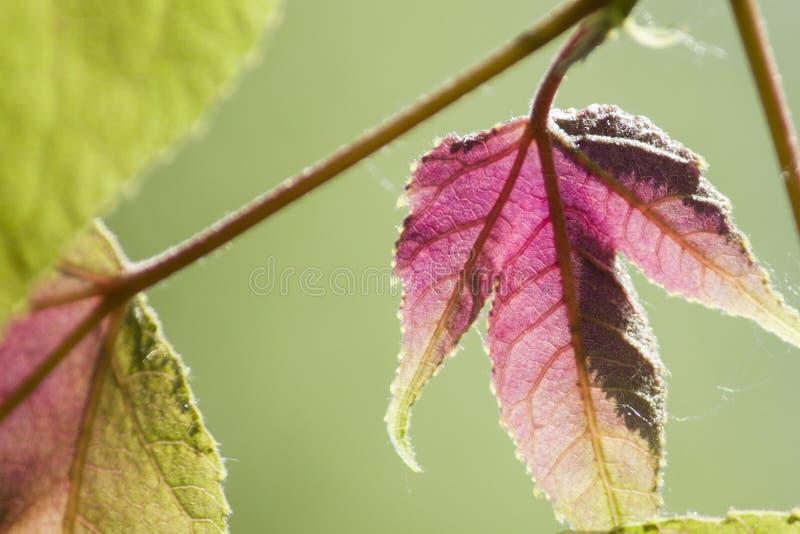 Hojas de arce rojas, hojas de otoño, hojas de Hd foto de archivo