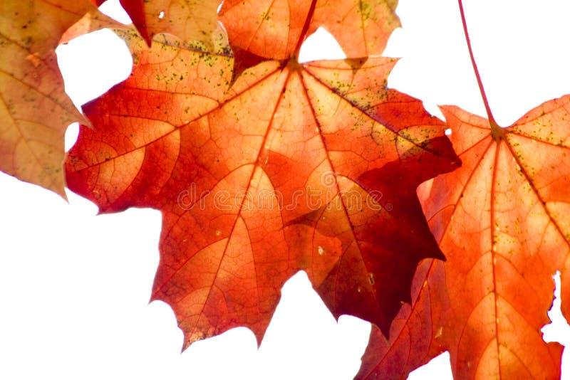 Hojas de arce rojo secas en parque del otoño foto de archivo