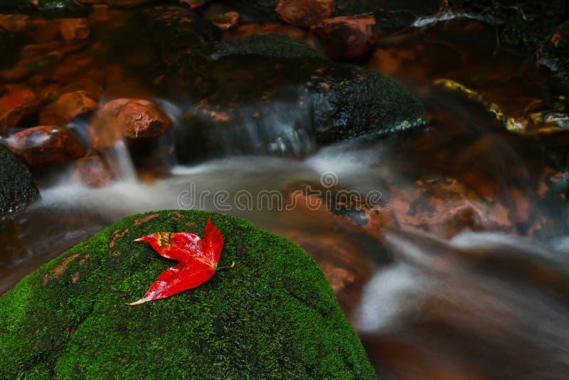 Hojas de arce de un rojo en la selva tropical foto de archivo
