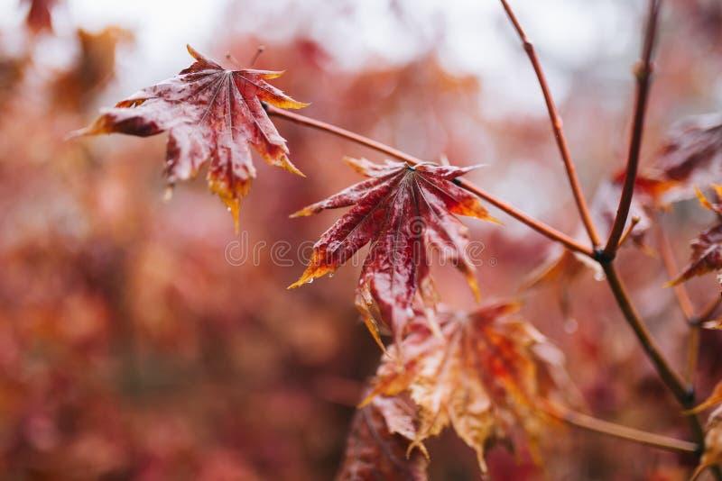 Hojas de arce y rama rojas con descensos del agua de lluvia en ella Lluvia durante invierno, tiros del primer foto de archivo libre de regalías