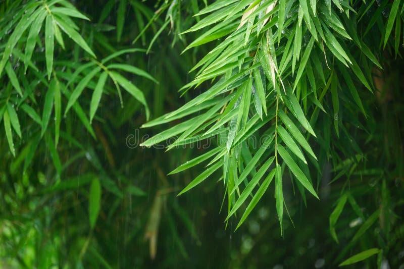 Hojas de bambú verdes con llover imágenes de archivo libres de regalías