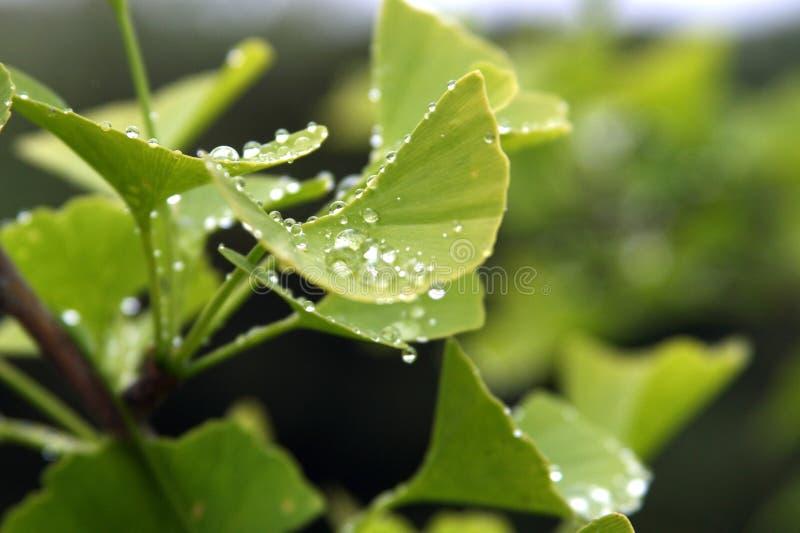 Hojas de Biloba del Ginkgo con gotas de lluvia foto de archivo