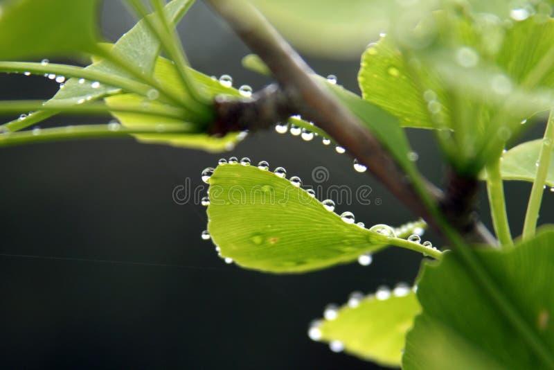 Hojas de Biloba del Ginkgo con gotas de lluvia imagen de archivo
