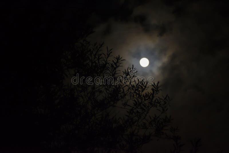 Hojas de la aceituna con el fondo de la Luna Llena foto de archivo