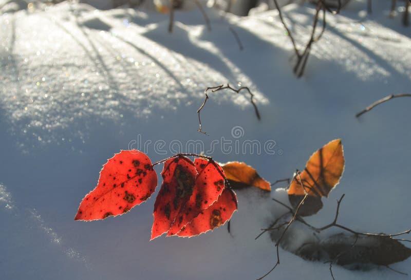Hojas de la caída en nieve imagen de archivo