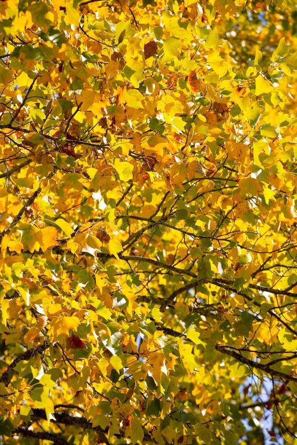 Hojas de la caída en un árbol de arce foto de archivo