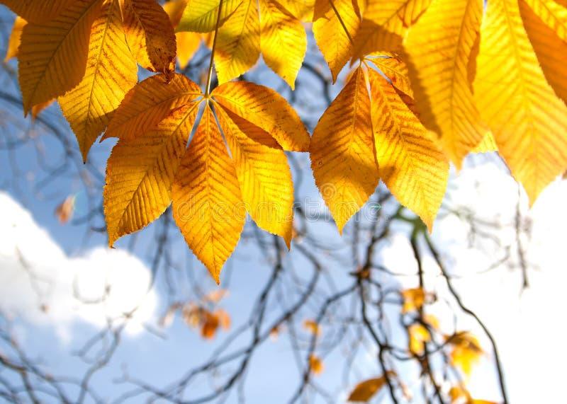 Hojas de la castaña del otoño en sol imagen de archivo libre de regalías