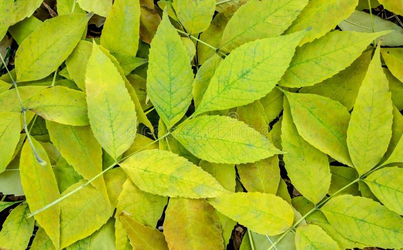 Hojas de la ceniza amarilla y verde foto de archivo libre de regalías