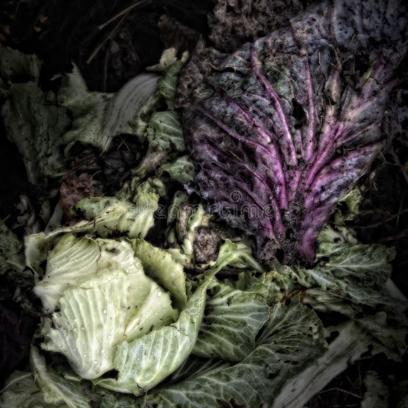 Hojas de la col en un montón del estiércol vegetal fotografía de archivo