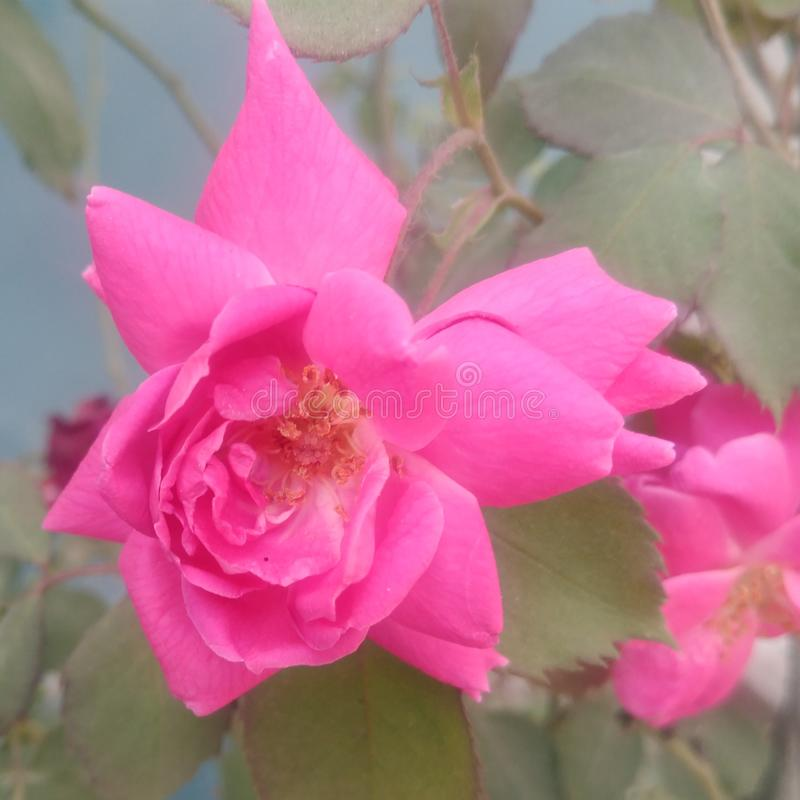 Hojas de la flor de Rose Fondo, hojas ilustración del vector