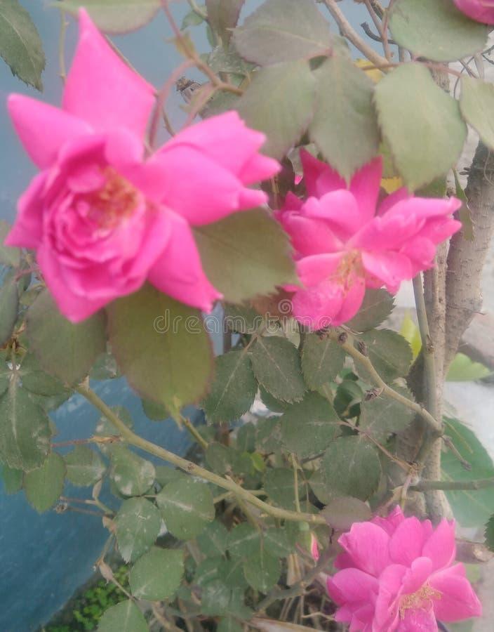 Hojas de la flor de Rose Fondo, hojas libre illustration