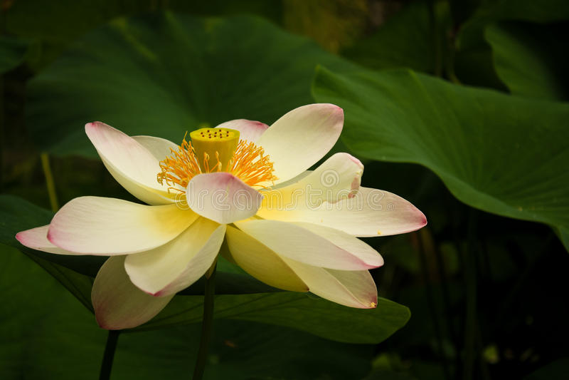 Hojas de la flor y del verde de loto imagenes de archivo