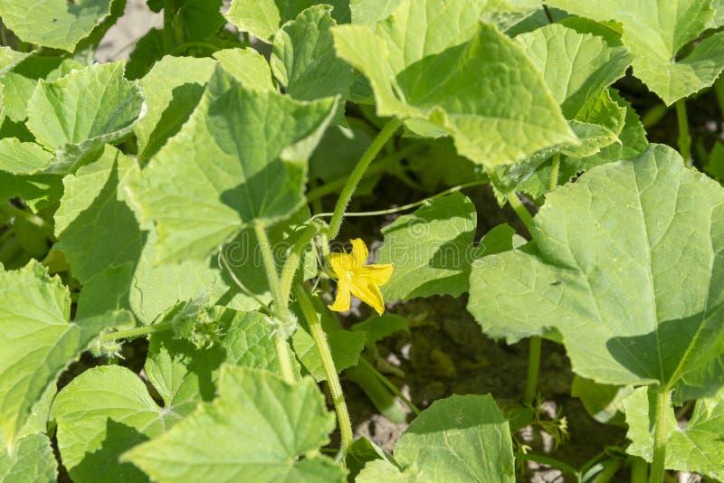 Hojas de la flor y del verde del pepino imagen de archivo libre de regalías