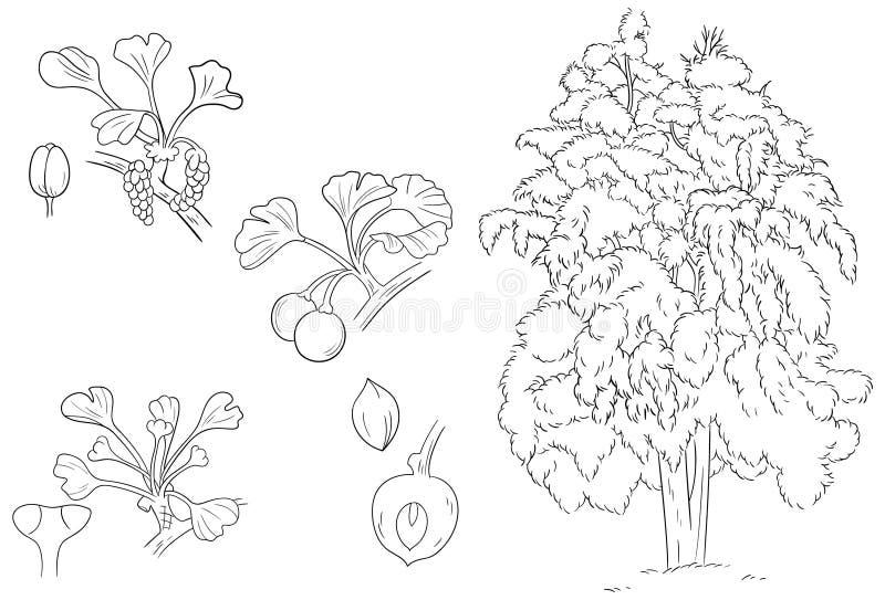 Hojas de la fruta de la flor del Ginkgo y esquema y bosquejo de la planta ilustración del vector