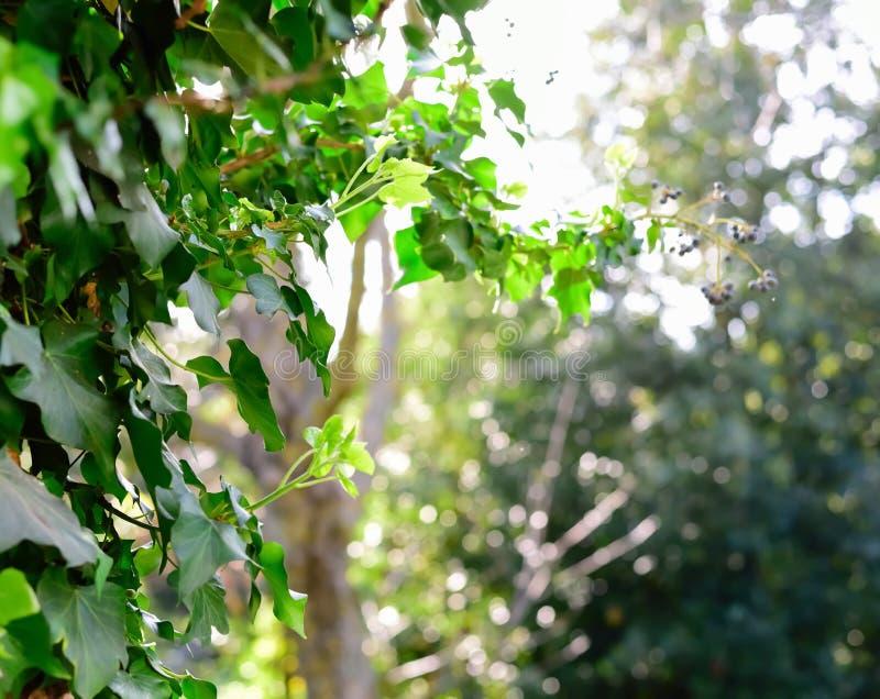 Hojas de la hiedra en un jardín verde imagen de archivo libre de regalías