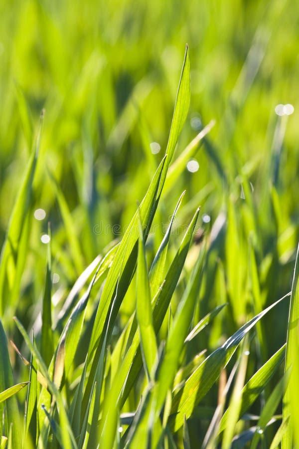 Hojas de la hierba y del trigo con rocío fotos de archivo