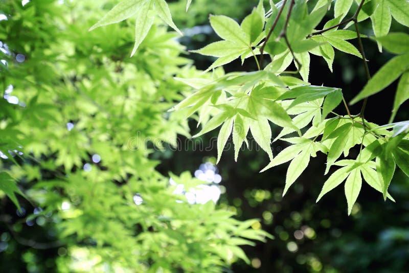 Hojas de la hoja de arce del verde del azúcar de la primavera imágenes de archivo libres de regalías
