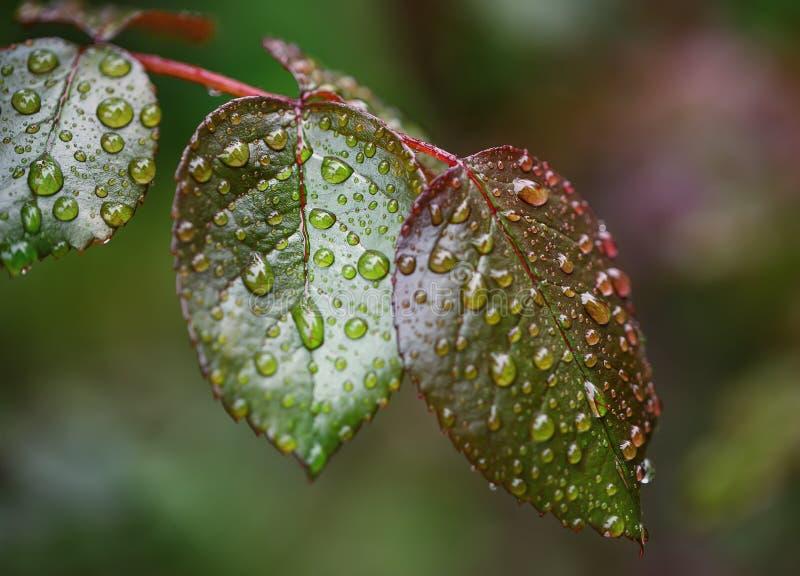 Hojas de la oferta de las rosas del arbusto después de la lluvia imagen de archivo