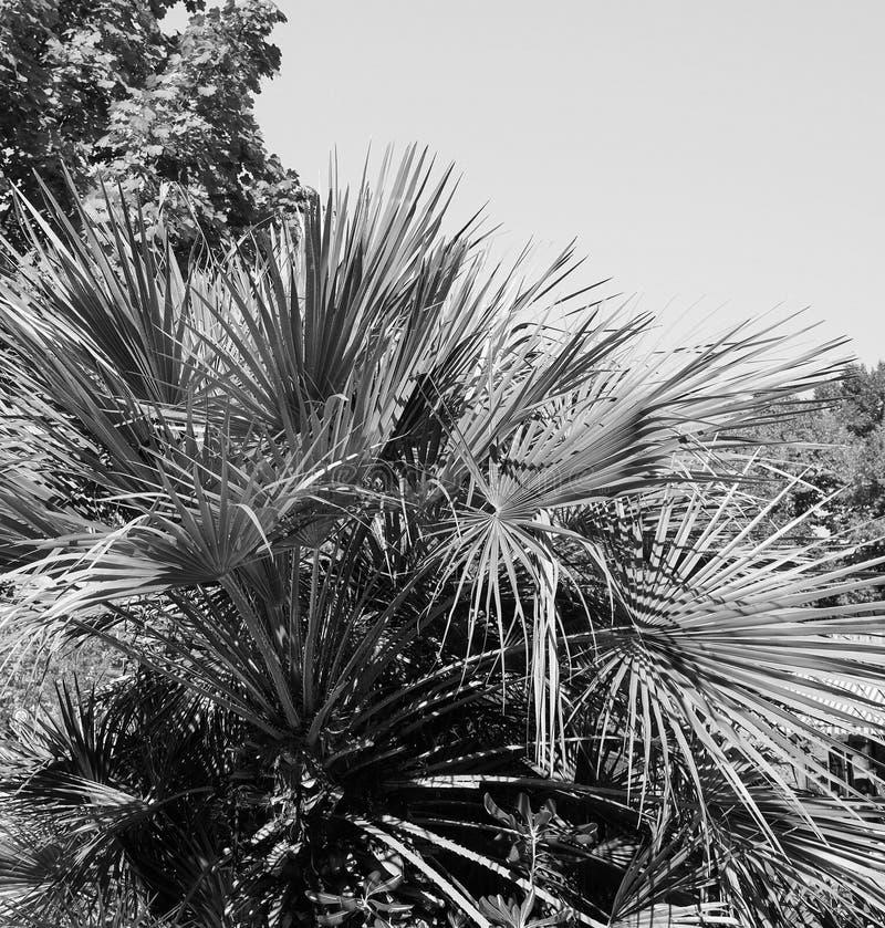 Hojas de la palmera en blanco y negro imagenes de archivo