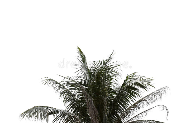 Hojas de la palmera en fondo aislado y blanco foto de archivo libre de regalías