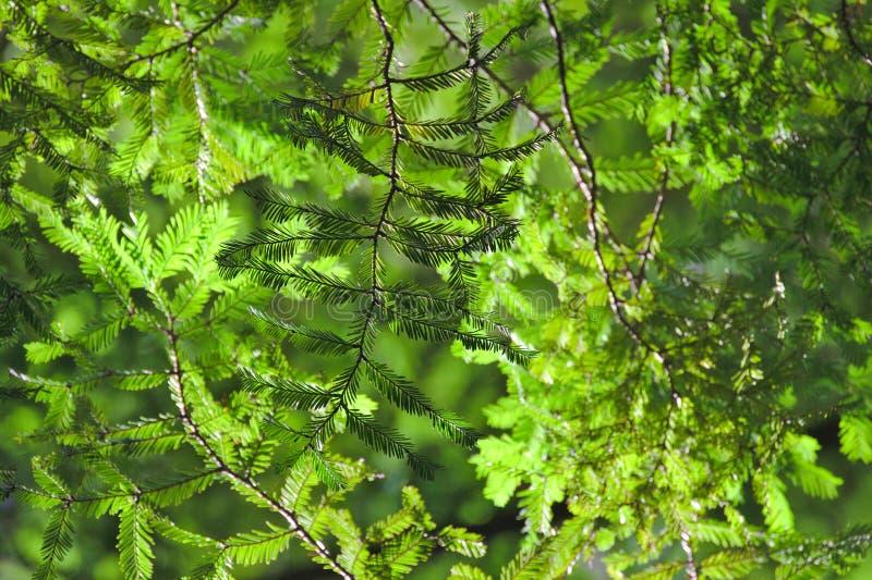 Hojas de la secoya, toldo de árbol fotos de archivo libres de regalías