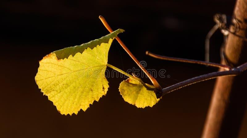 Hojas de la vid en otoño fotografía de archivo libre de regalías
