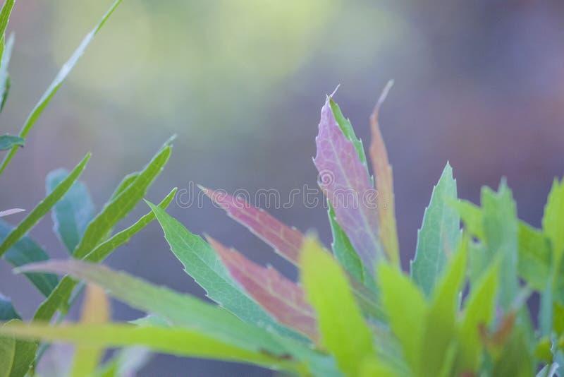 Hojas de las hojas de la planta, coloridas y rojas, sord como, fondo azul foto de archivo libre de regalías