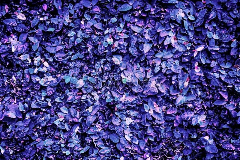 Hojas de lilac azules, se pueden utilizar para el fondo imagen de archivo