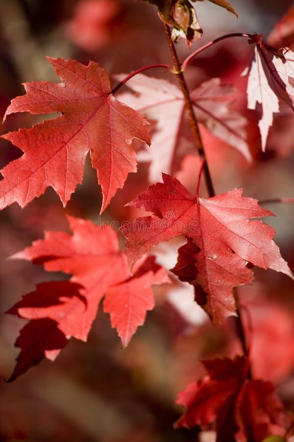 Hojas de los arces rojos en otoño fotografía de archivo