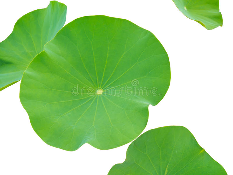 Hojas de Lotus aisladas en el fondo blanco Hojas de Lotus en un pon imagenes de archivo