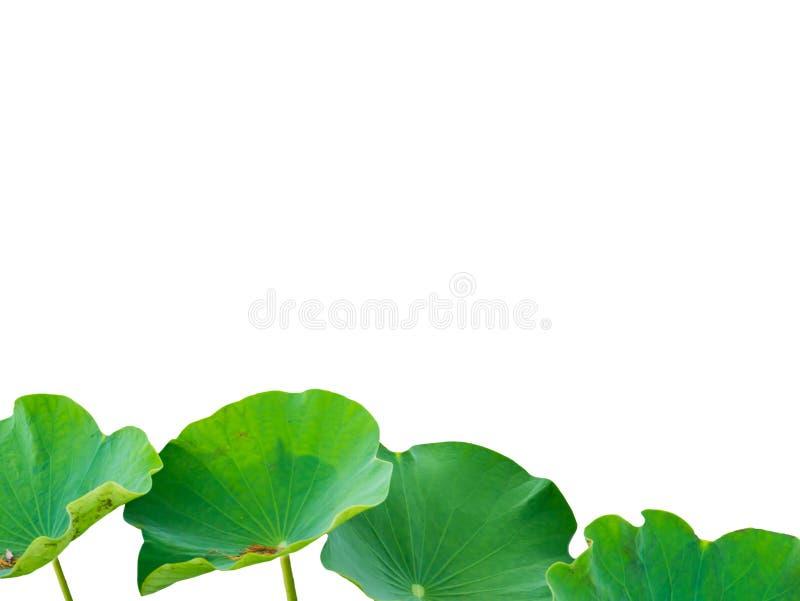 Hojas de Lotus aisladas en el fondo blanco Hojas de Lotus en un pon fotos de archivo