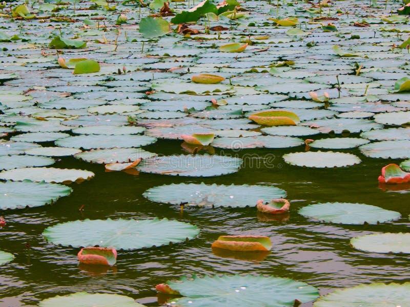 Hojas de Lotus en un lago foto de archivo libre de regalías