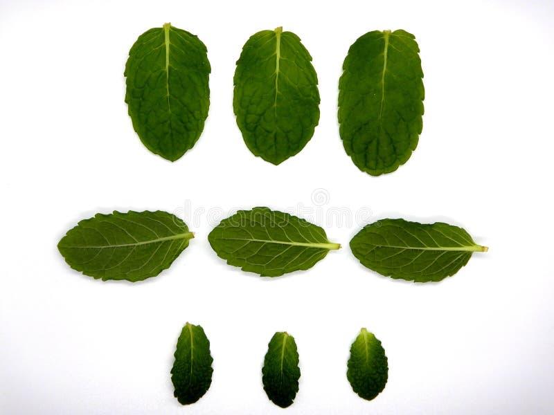 Hojas de menta contra un fondo blanco, nueve hojas foto de archivo