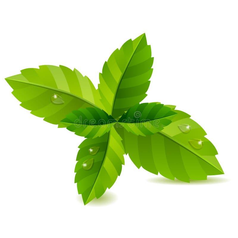 Hojas de menta verdes frescas stock de ilustración