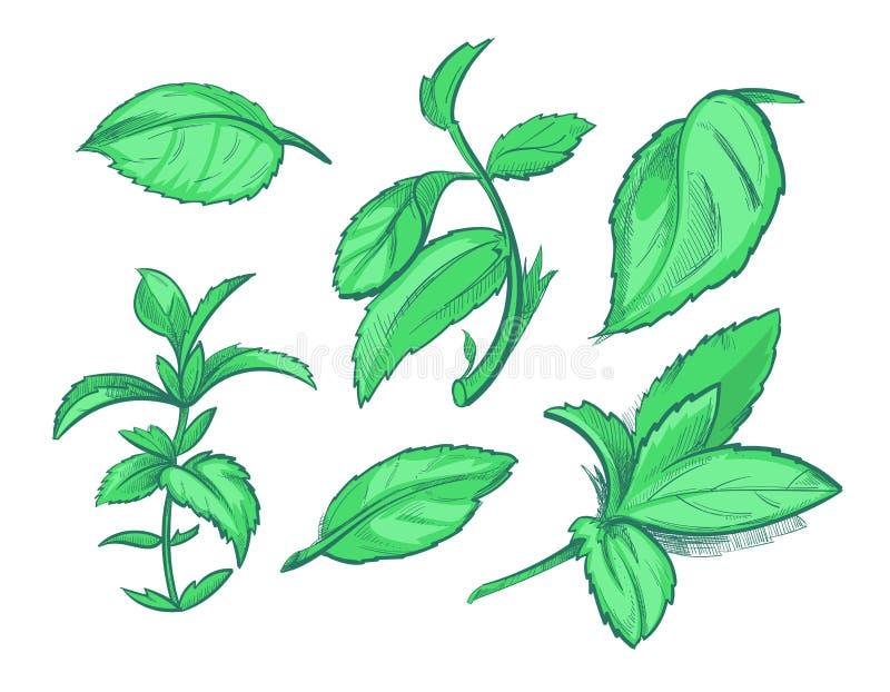 Hojas de menta verdes, mentol, ejemplo dibujado mano del vector de la hierbabuena del aroma ilustración del vector