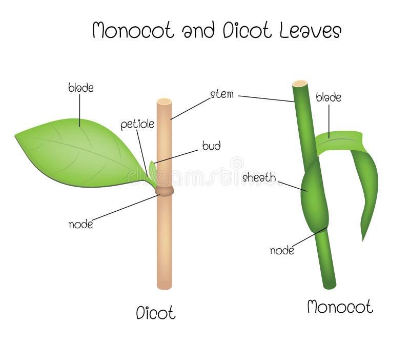 Hojas de Monocot y de Dicot stock de ilustración