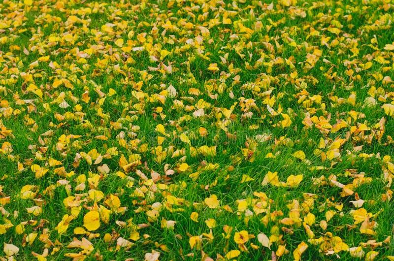 Hojas de oro caidas otoño en hierba verde fotos de archivo libres de regalías