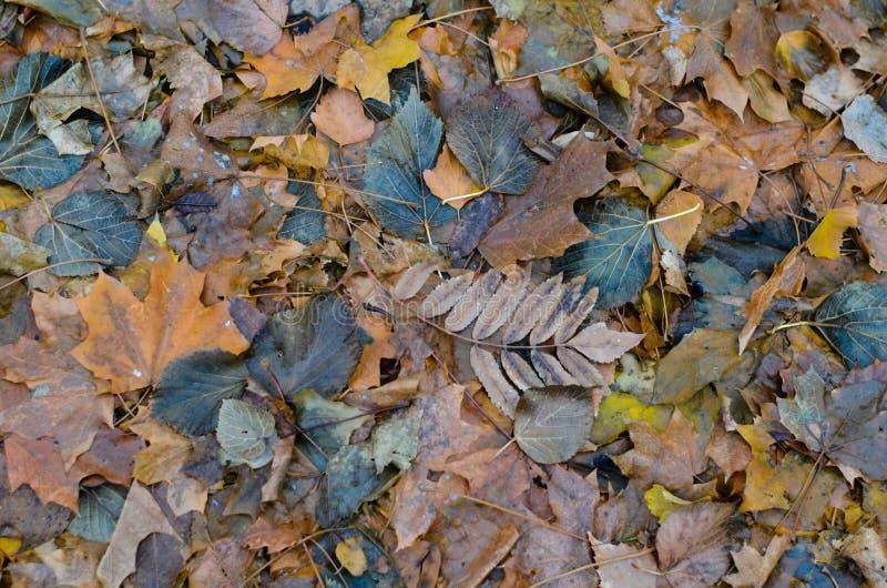 Hojas de oro caidas oto?o en hierba verde fotos de archivo libres de regalías