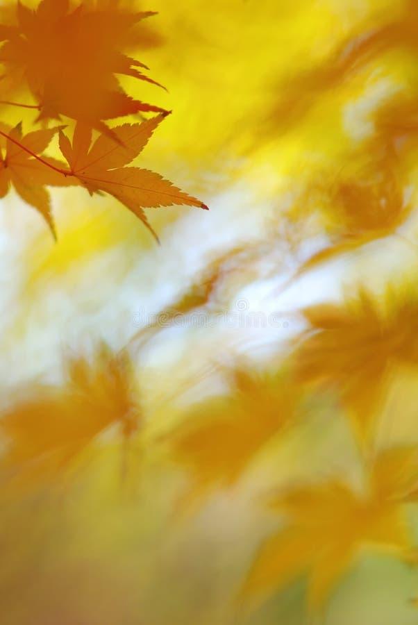 Hojas de oro del árbol de arce japonés con el bokeh interesante fotos de archivo