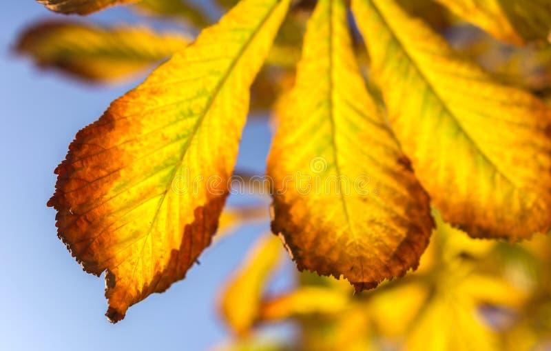 Hojas de otoño amarillas fotografía de archivo libre de regalías