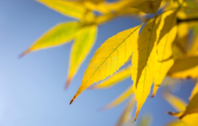 Hojas de otoño amarillas imagenes de archivo