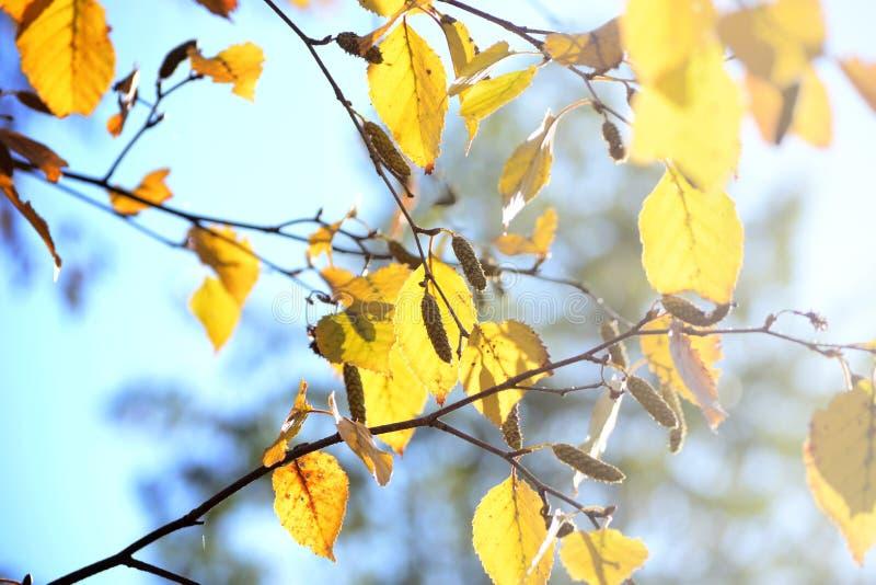 Hojas de otoño amarillas brillantes del abedul bajo luz del sol fotos de archivo