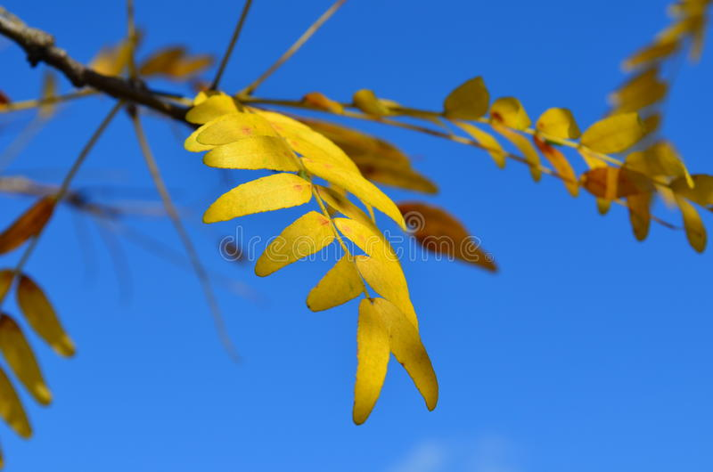 Hojas de otoño amarillas del árbol de Honey Locust del resplandor solar fotos de archivo libres de regalías