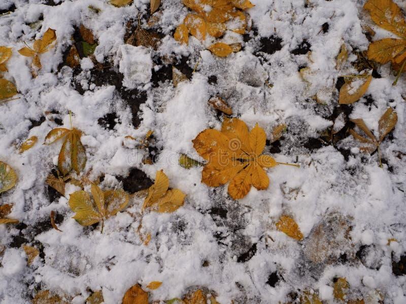 Hojas de otoño amarillas en el suelo cubiertas con la primera nieve en noviembre, huellas de pájaros en el suelo El invierno se a fotografía de archivo