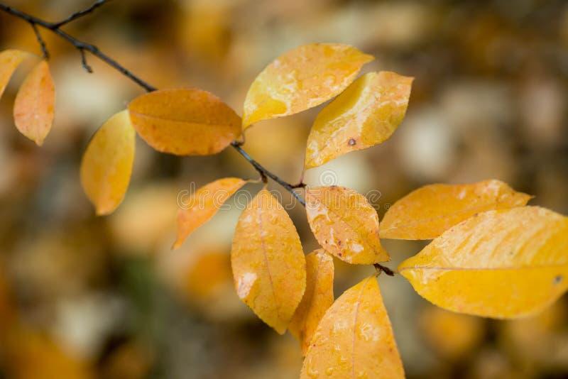 Hojas de otoño amarillas en padus macro del Prunus de la ramita imágenes de archivo libres de regalías