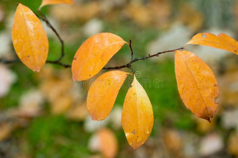 Hojas de otoño amarillas en padus macro del Prunus de la ramita imagen de archivo