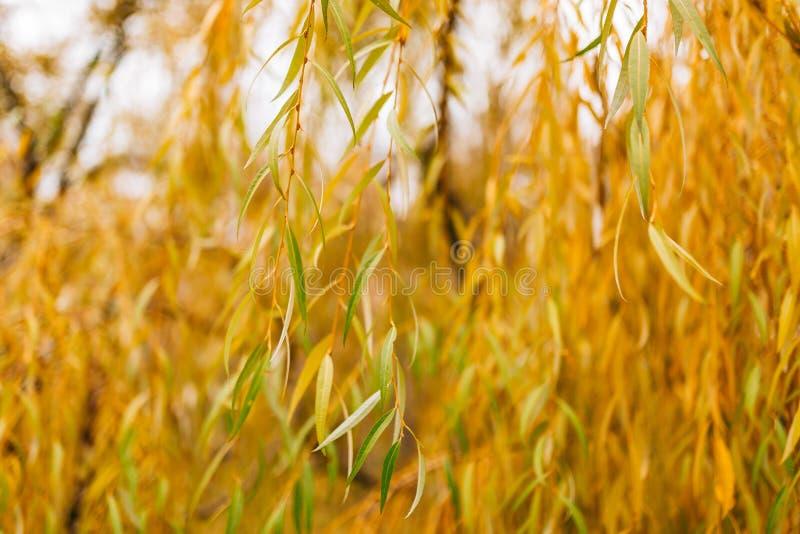 Hojas de otoño amarillas en un sauce imágenes de archivo libres de regalías