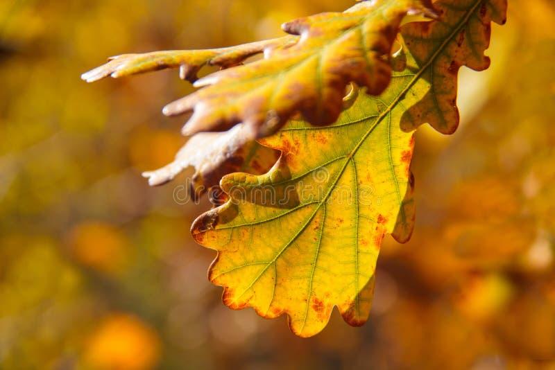 Hojas de otoño anaranjadas brillantes de descoloramiento en un fondo de la naturaleza imagen de archivo